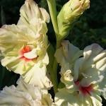 Гладиолусы Весна