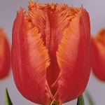 Тюльпаны Сагитта
