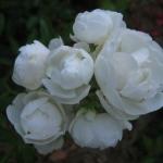 Розы Уайт Морсдаг