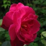Розы Там о Шантер