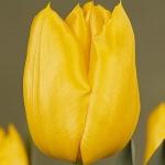 Тюльпаны Осака