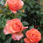 Розы Сансет Булевар