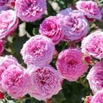 Розы Пинк Бебифлор