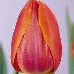 Тюльпаны Приор