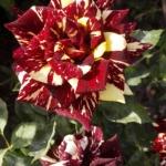 Розы Абракадабра
