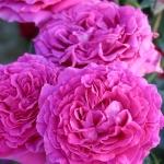 Розы Шартрез де Парме