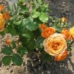 Розы Клементина