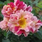 Розы Эдгар Дега