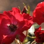 Розы Триаде