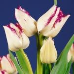 Тюльпаны Фрисби