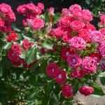 Rosen Schöne Koblenzerin