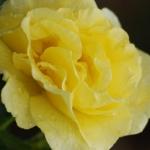Розы Люция