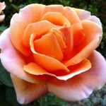 Розы Абби де Клуни