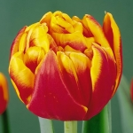 Тюльпаны Силеста