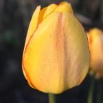 Тюльпаны Блашинг Апельдорн