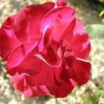Розы Мессире Делбард
