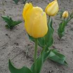 Тюльпаны Биг Смайл
