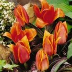 Тюльпаны Джоан Вудвард