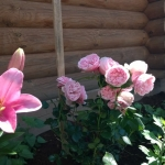 Розы Джиардина