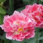 Тюльпаны Кул Кристал