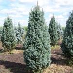Picea Blyu Totem