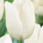 Тюльпаны Хакун