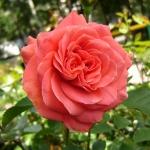 Розы Фредериксборг