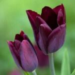 Тюльпаны Хавран