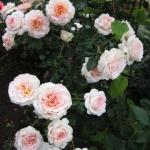 Розы Шлосс Эутин