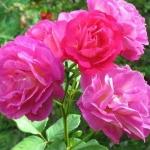 Розы Аутта зе Блю