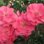 Розы Лавиниа