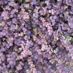 Ацена Пурпуреа