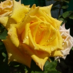 Розы Мохана