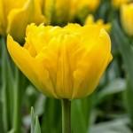 Тюльпаны Мэри Джо