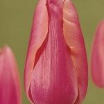 Тюльпаны Компаньон