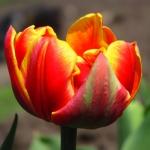 Тюльпаны Бонанза