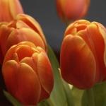 Тюльпаны Оранж Бриллиант