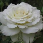 Розы Клос Флойри Бланк