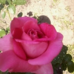Розы Ланком