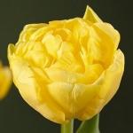 Тюльпаны Буле д'Ор