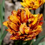 Тюльпаны Бастиа