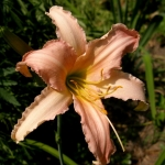 Daylily Luxury Lace