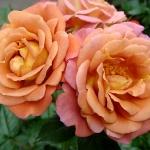 Розы Калейдоскоп