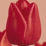 Тюльпаны Дикс Фэйворит