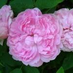 Розы Мэри Роуз