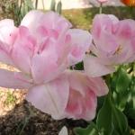 Тюльпаны Аннелинде