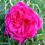 Розы Янг Лицидас