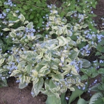 Brunnera Kings Ransom