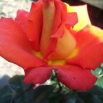 Розы Ватикан