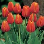 Тюльпаны Оранж Джевел